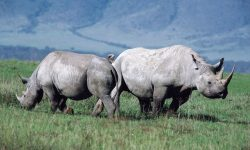 Rhinoceros Wide wallpapers
