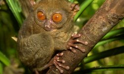 Tarsier Wide wallpapers