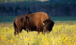 Bison High