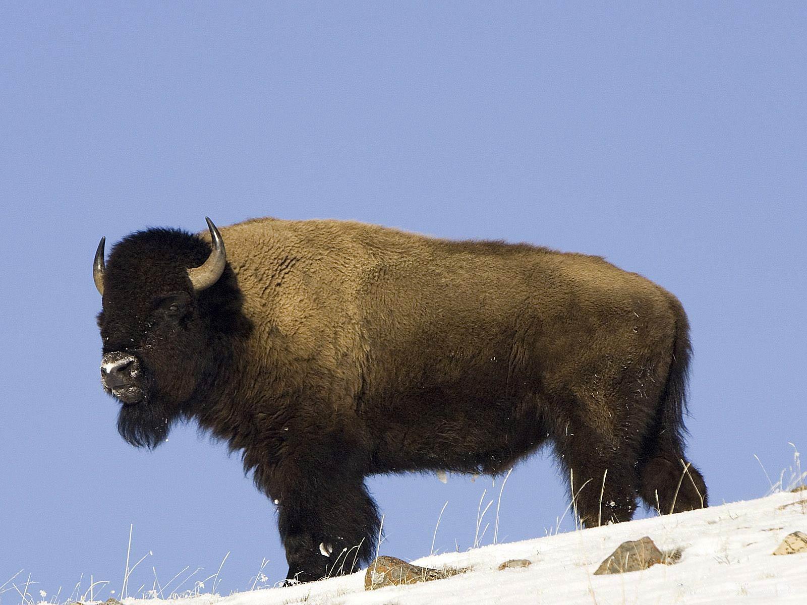 Buffalo HD