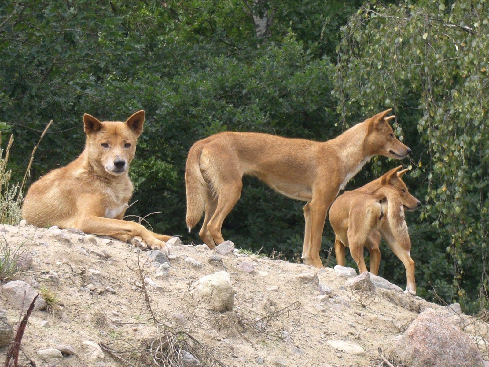 Dingo High
