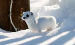 Ermine Wide wallpapers