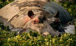 Hippopotamus High