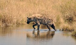 Hyena High