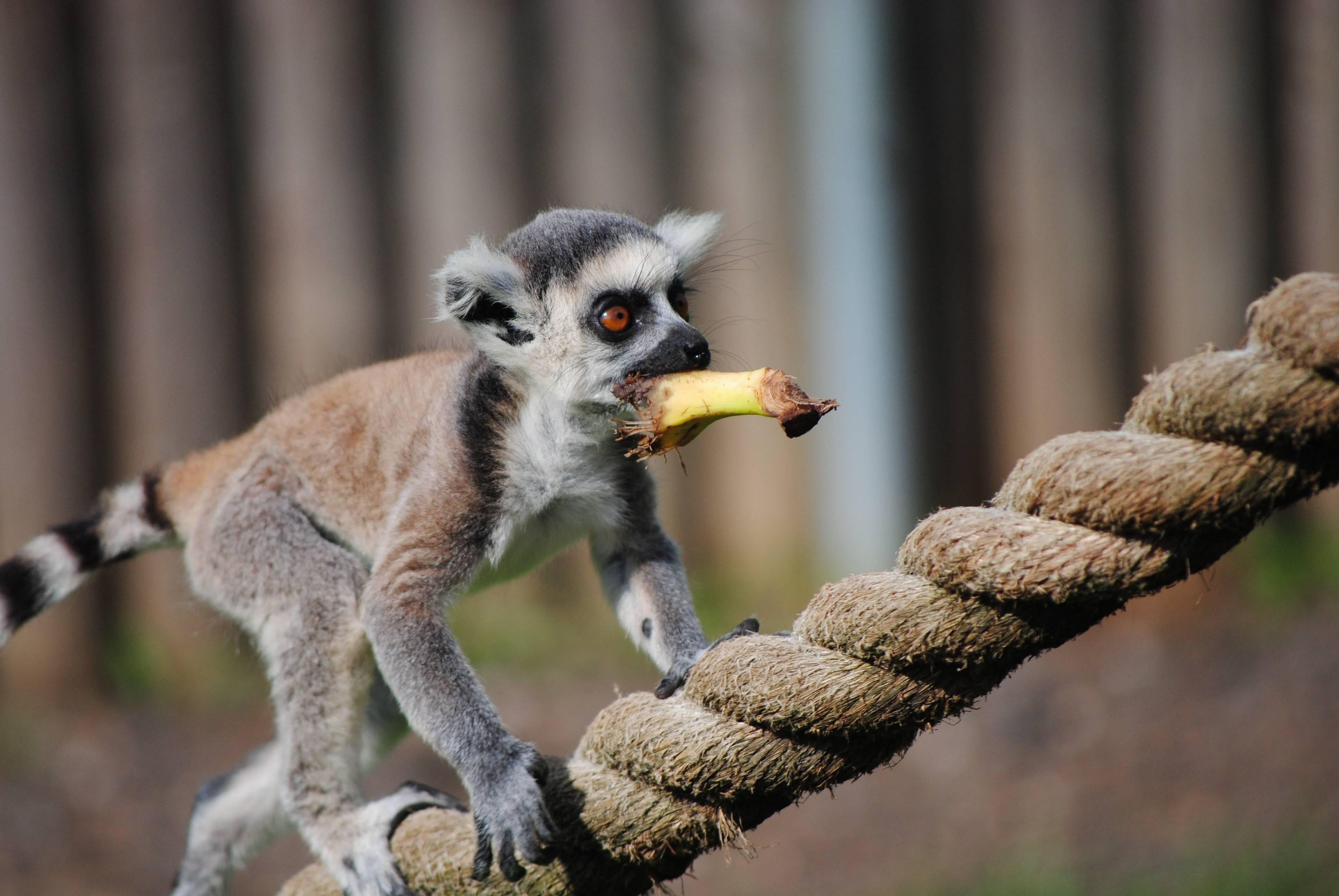 Lemur HD