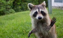 Raccoon High