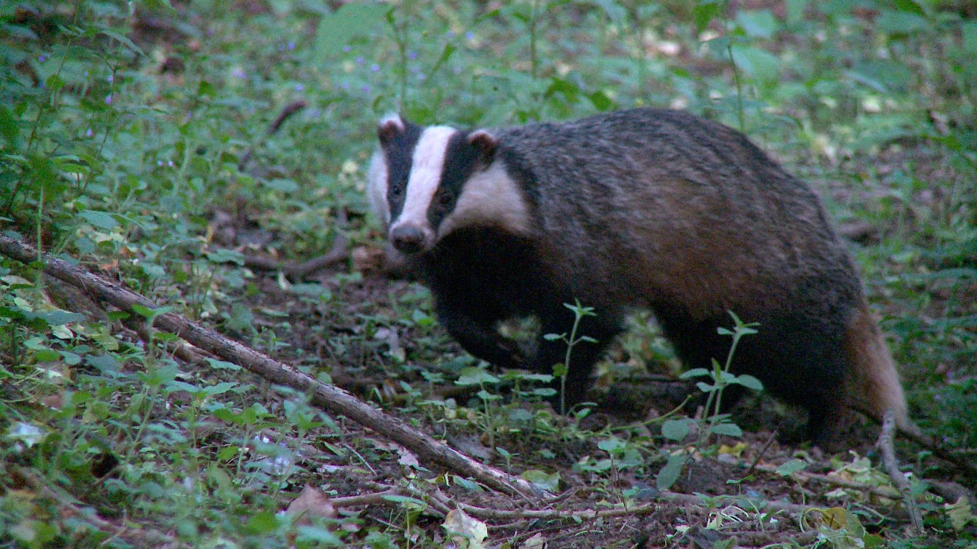 Badger HD
