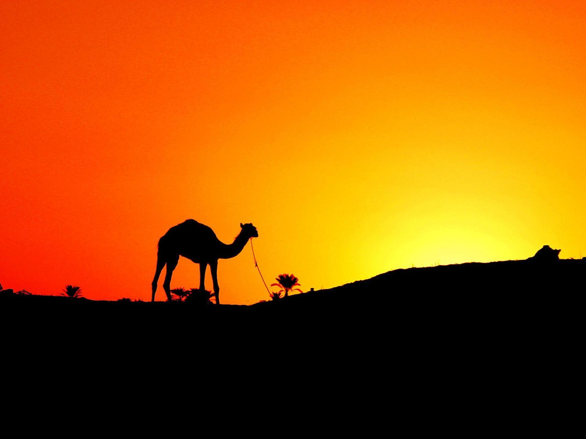 Camel HD