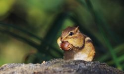 Chipmunk HD