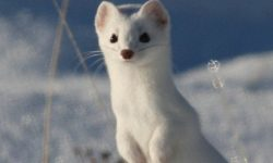 Ermine High