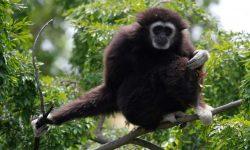 Gibbon HD