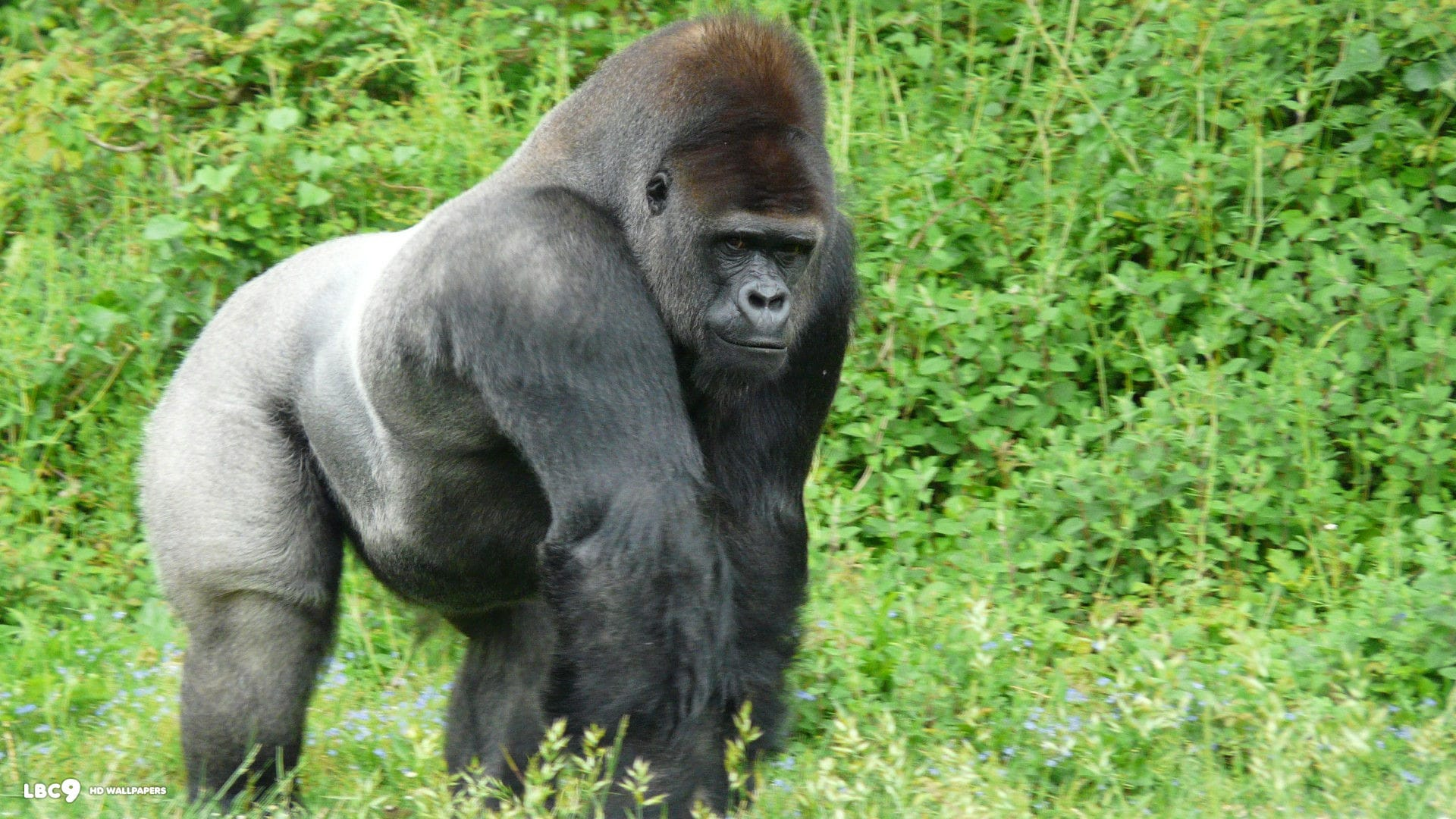 Gorilla HD