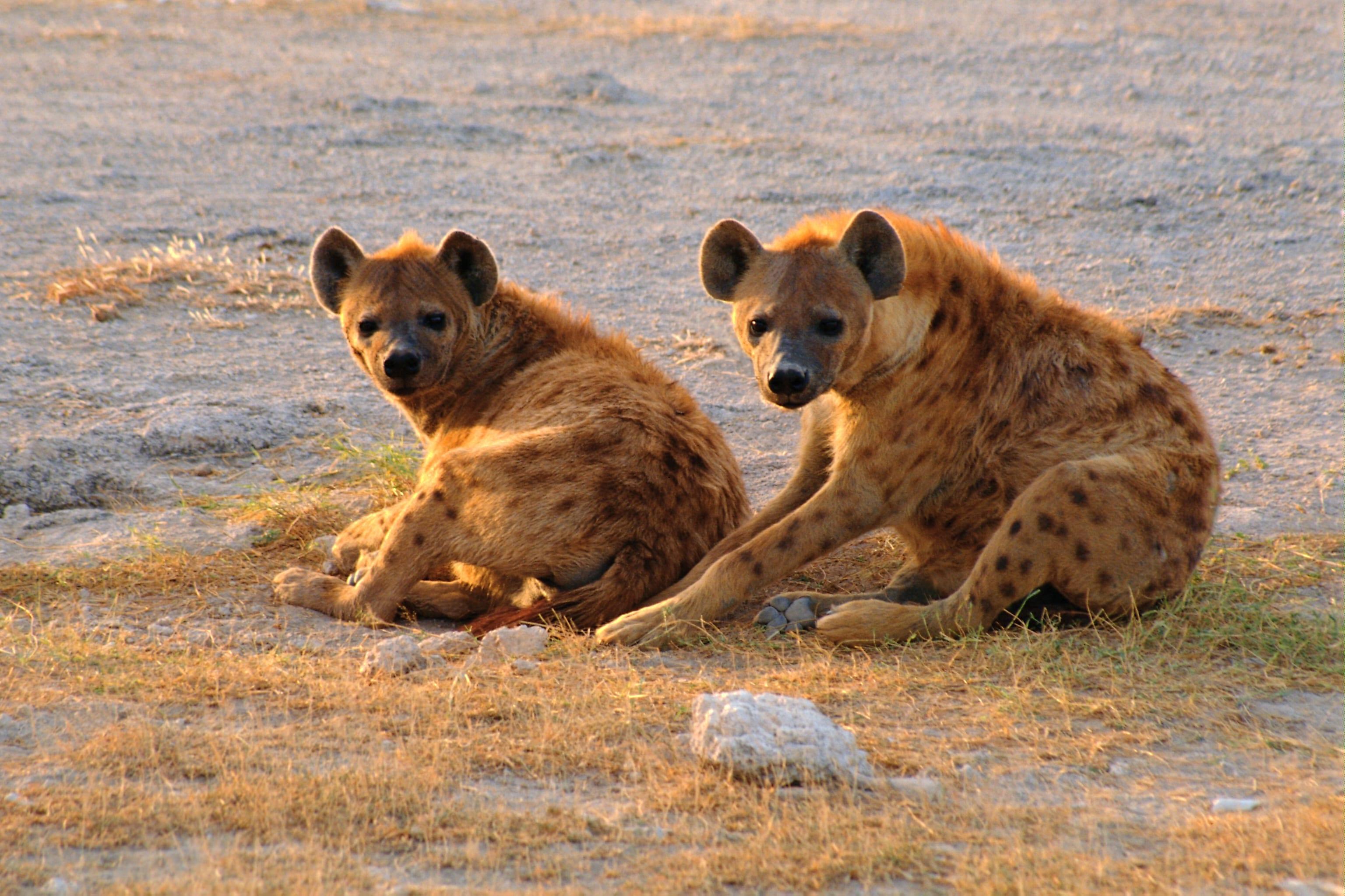 Hyena HD