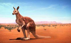Kangaroo HD