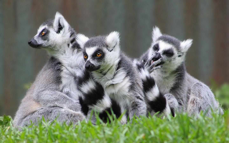 Lemur Free