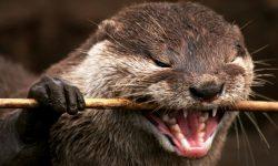 Otter HD