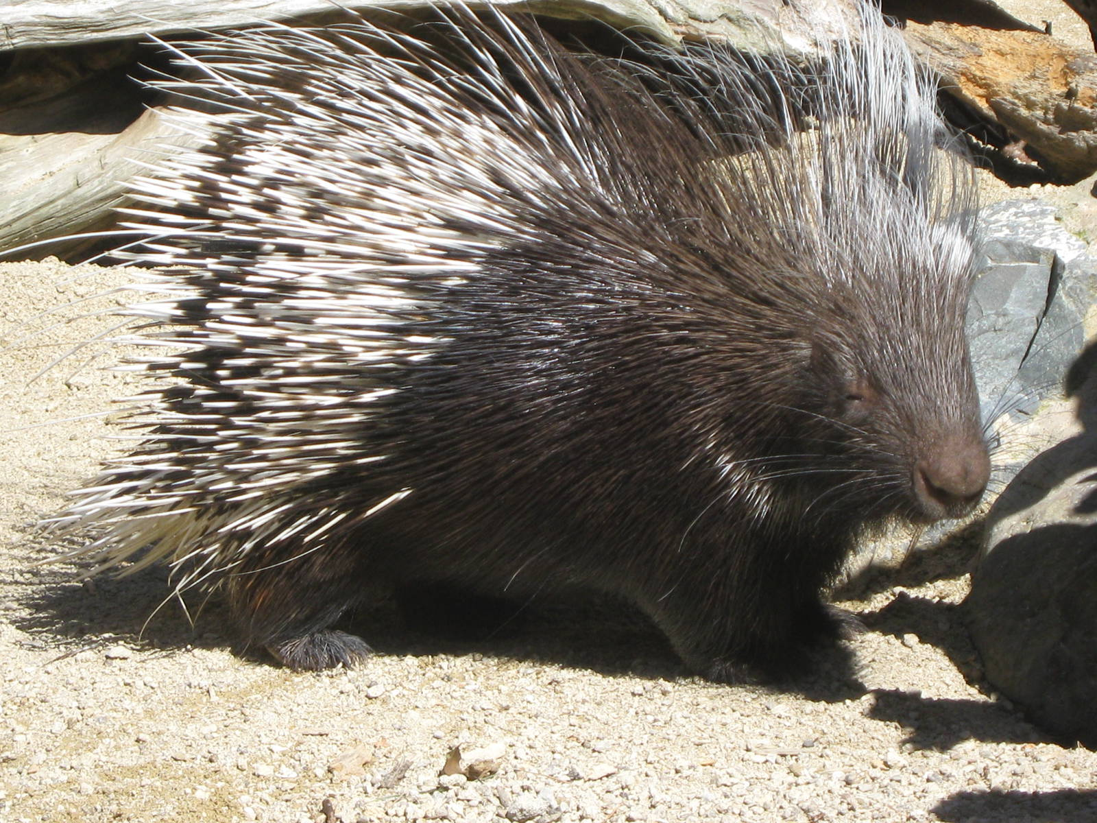 Porcupine Free