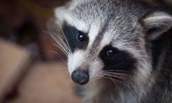 Raccoon HD