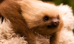 Sloth HD