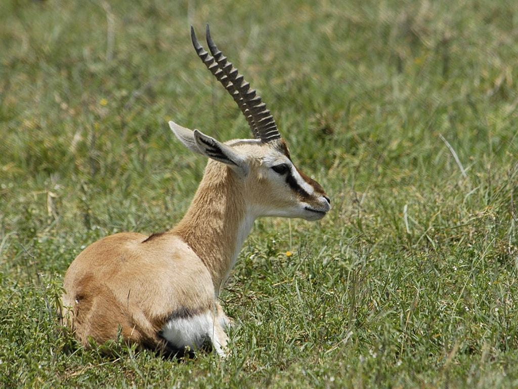 Springbok HD