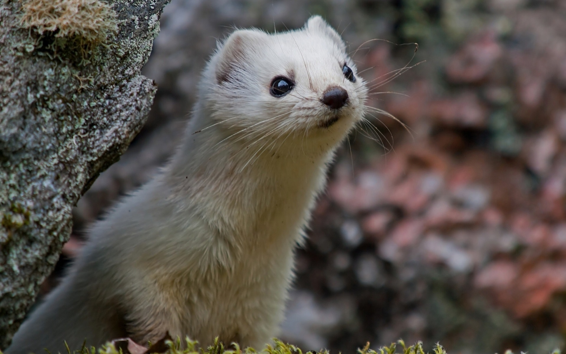 Weasel HD