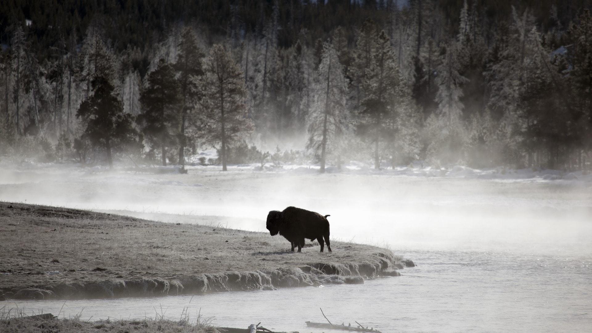 Bison Free