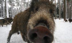 Boar Free