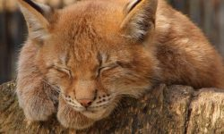 Caracal Free