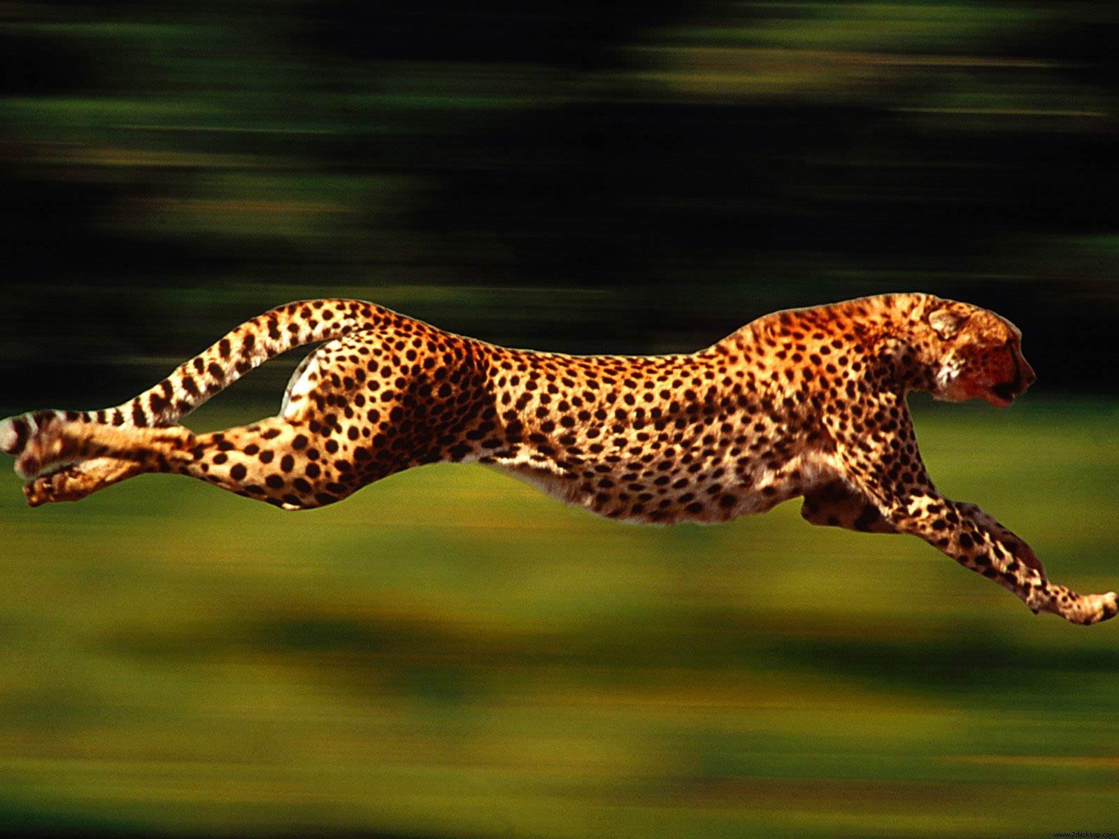 Cheetah Free