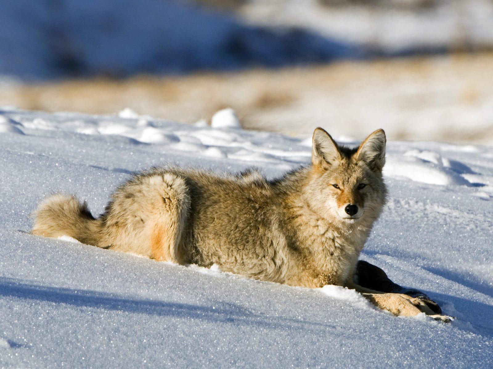 Coyote Free