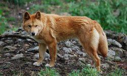 Dingo Free