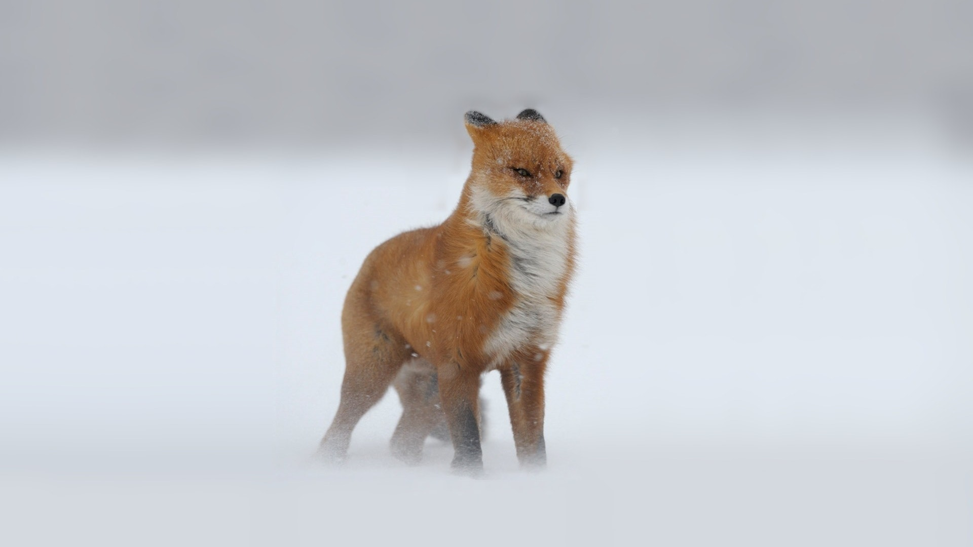 Fox Free
