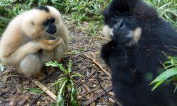 Gibbon Free