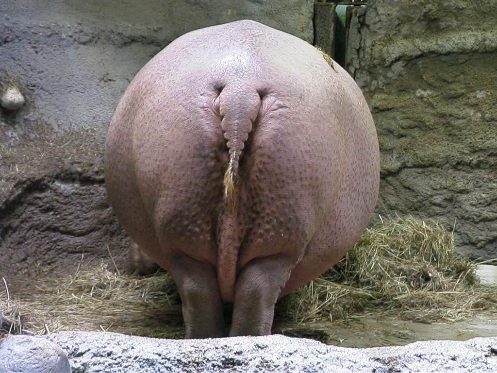 Hippopotamus Free