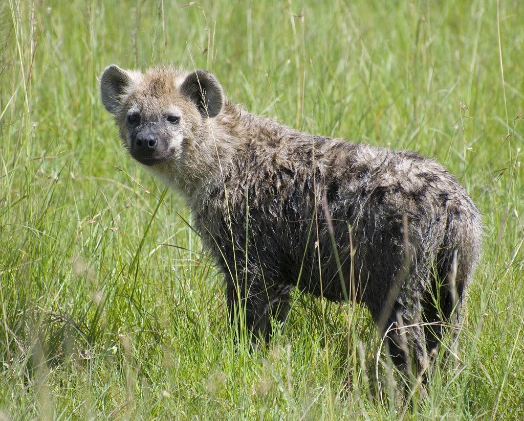 Hyena Free