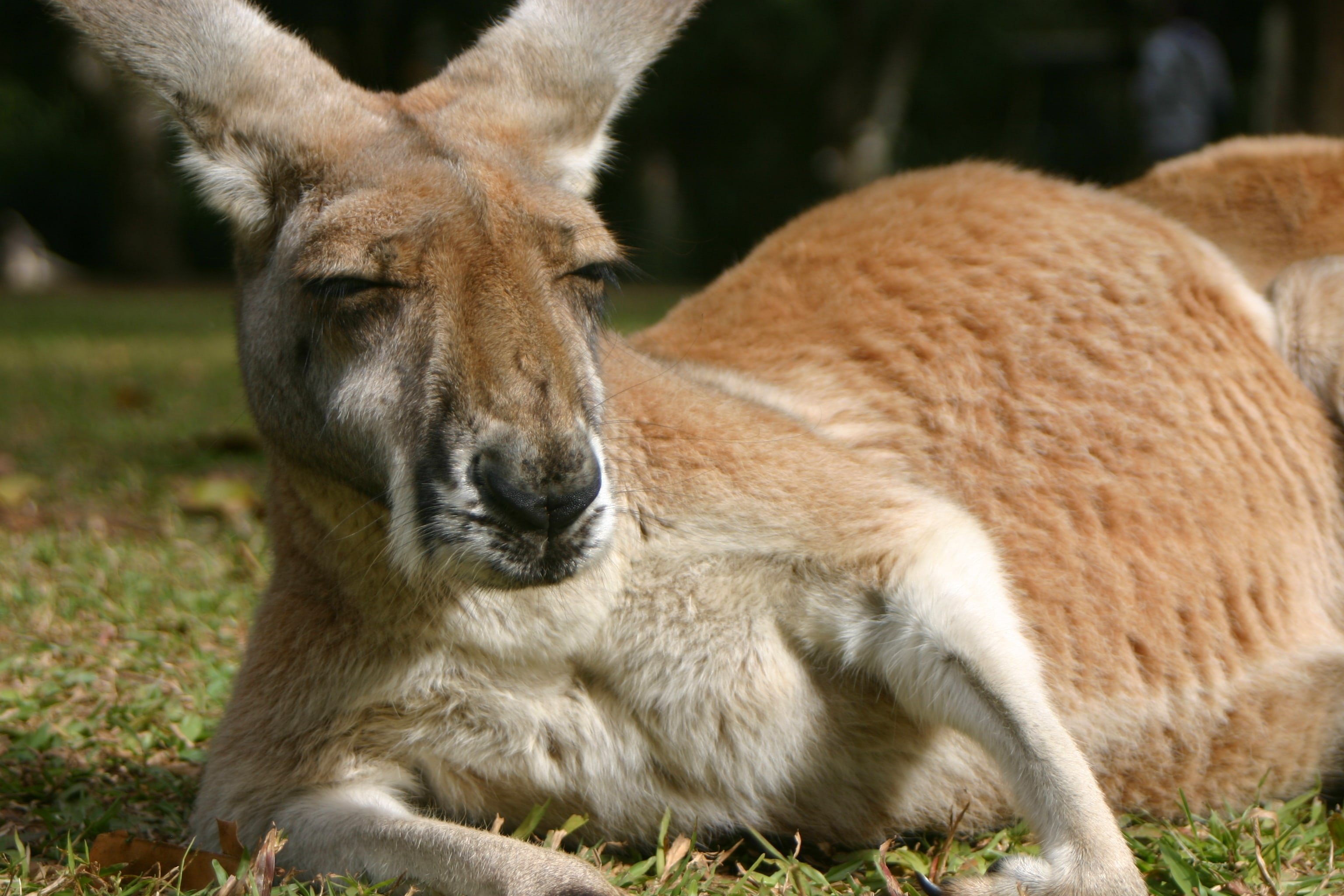 Kangaroo Free