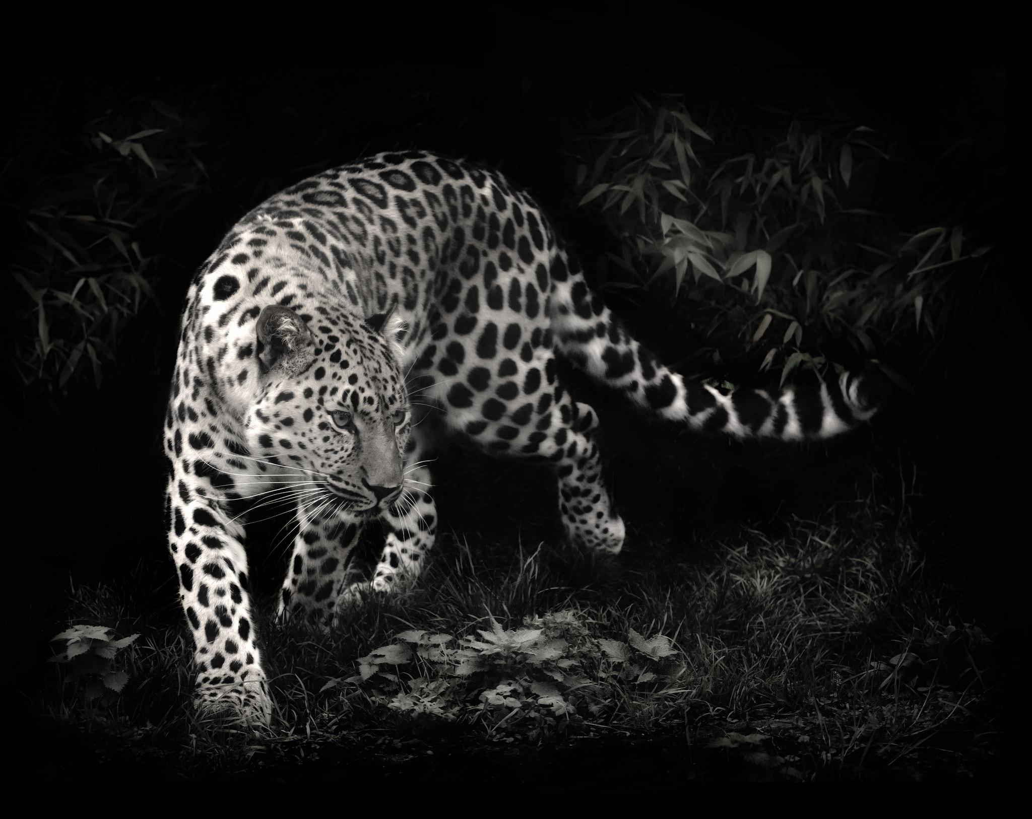 Leopard Free