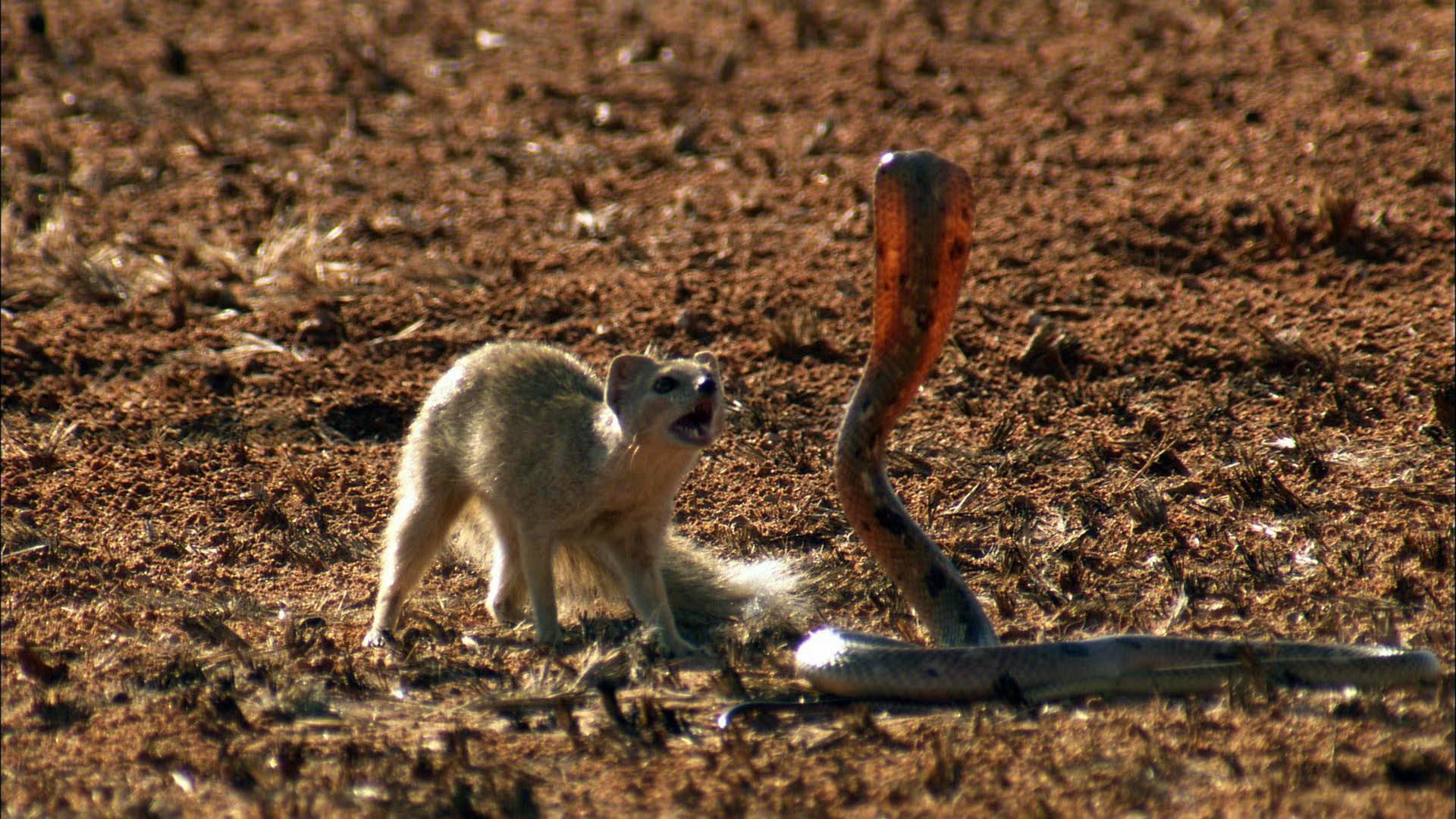Mongoose Free