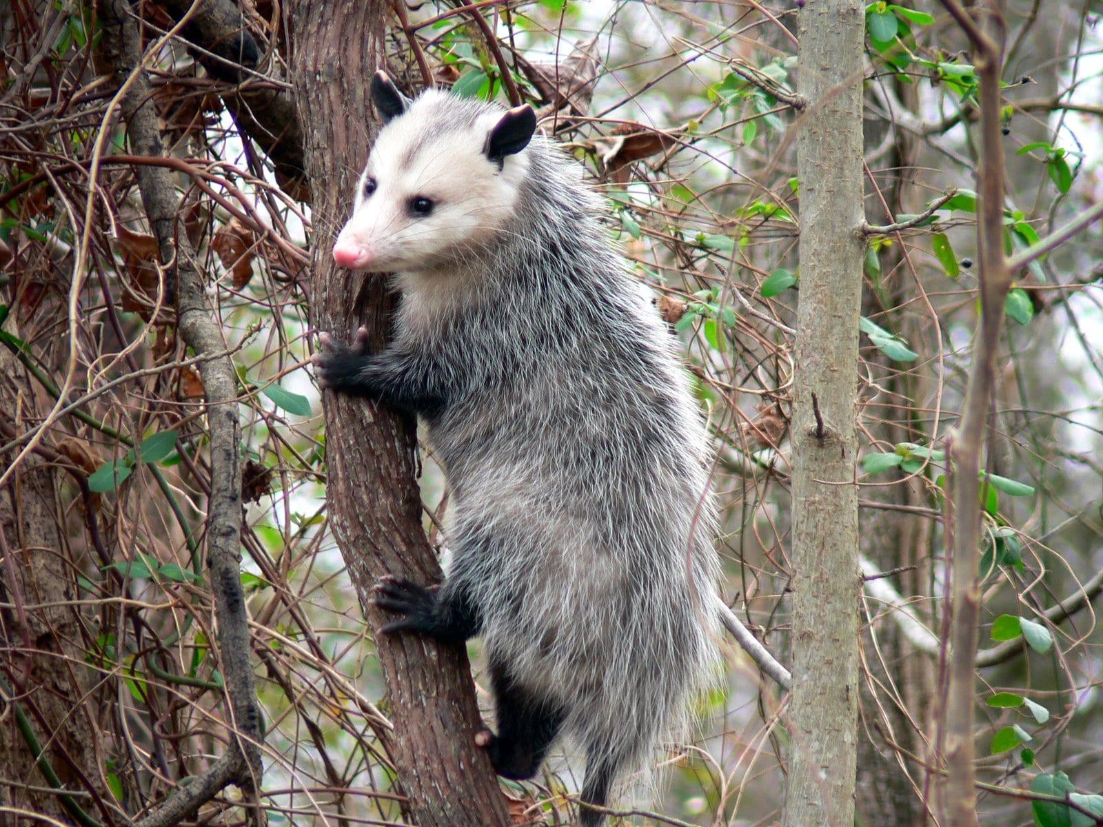 Opossum Free