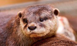 Otter Free