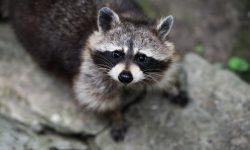 Raccoon Free