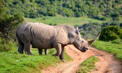 Rhinoceros Free