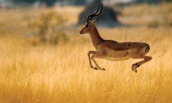 Springbok Free