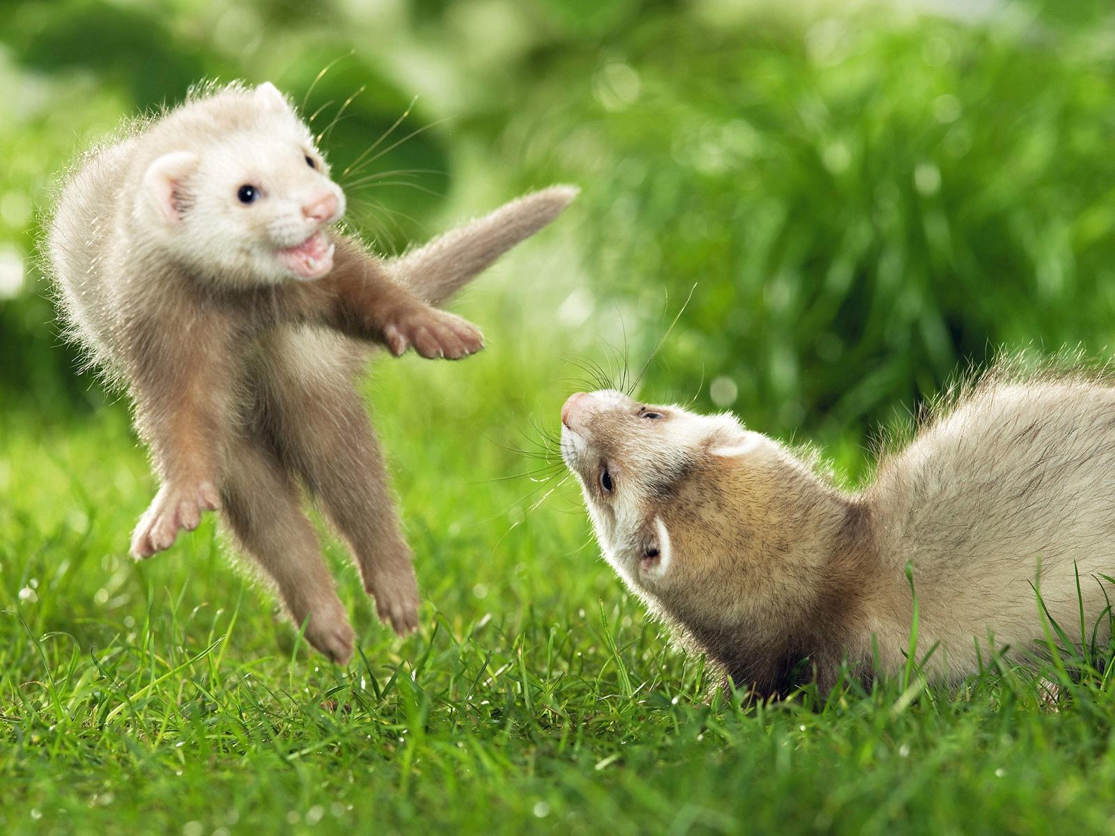 Weasel Free