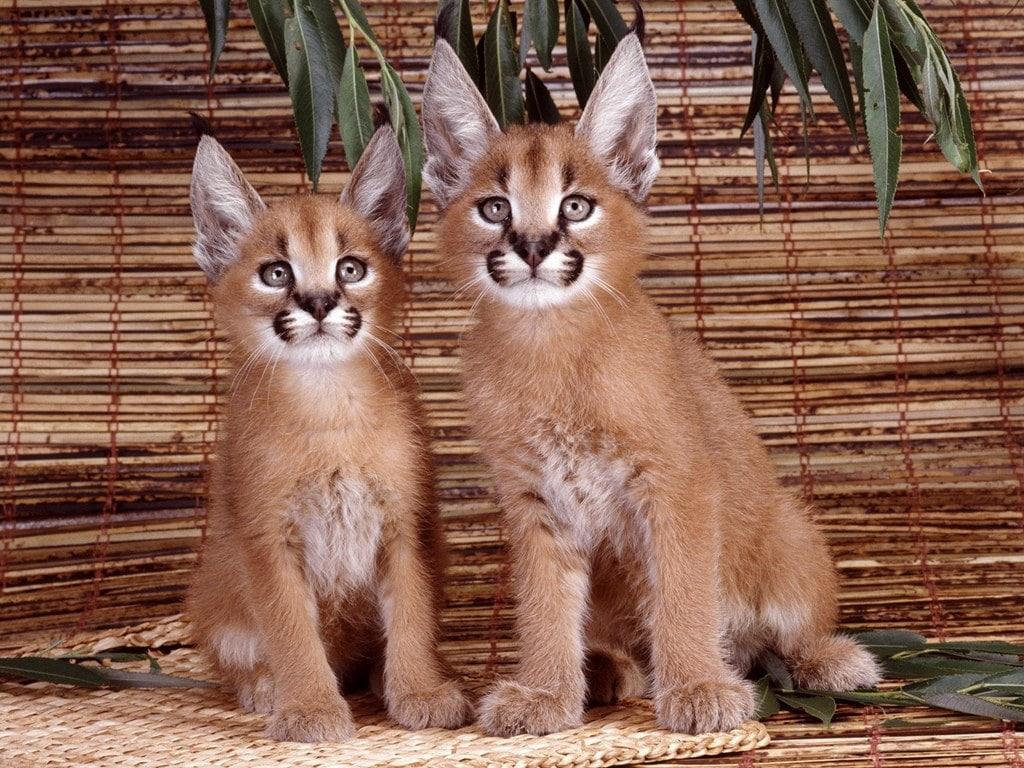 Caracal Desktop wallpapers
