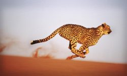 Cheetah Desktop wallpapers