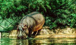 Hippopotamus Desktop wallpapers