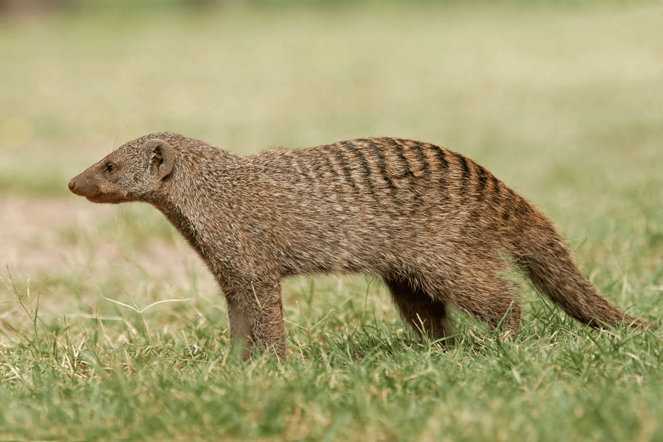 Mongoose Desktop wallpapers
