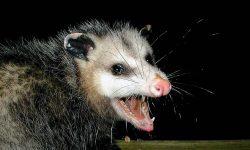 Opossum Desktop wallpapers