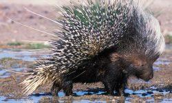 Porcupine widescreen